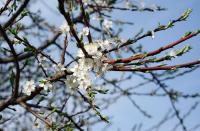 В Бресте яблони в цвету