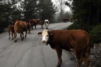 Рогатый скот, пахнущий парным молоком, разгуливает по дорогам Норвегии.