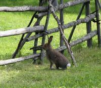 РОДЕО-СБОРЫ в Августе 2013, Финляндия(Лиекса). Как уверяют зайцев было много.